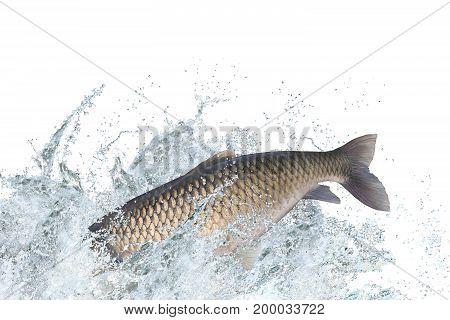 Amur Or Grass Carp Fish Jumping With Splashing In Water