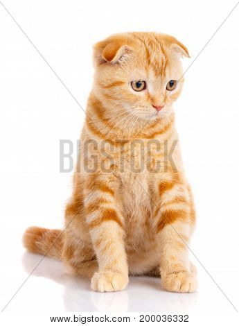 cat, beautiful cat, purebred cat, fluffy cat, proud cat, kitten redhead - portrait of Scottish cat sits on a white background