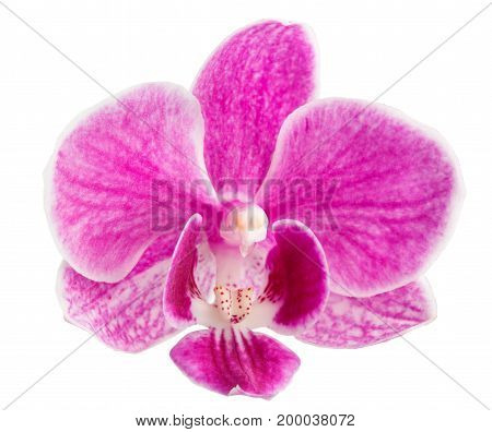 orchid flower, pink orchid isolated, orchid flower head - beautiful pink orchid head, isolated on a white background, close up, With clipping path