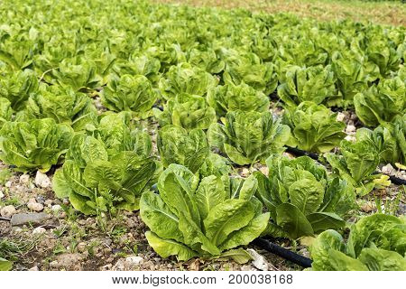 Agriculture. Growing salad in beds on a sunny day
