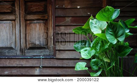 Wooden vintage window and wall with cordate leaves in dark mode.