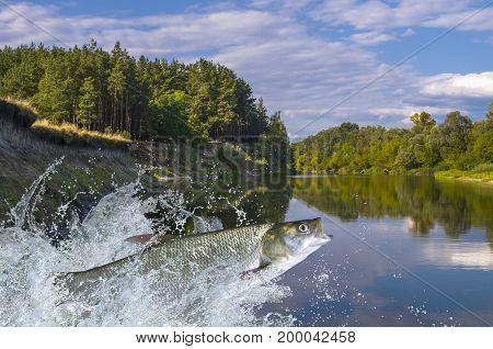 Asp Fish Jumping With Splashing In Water