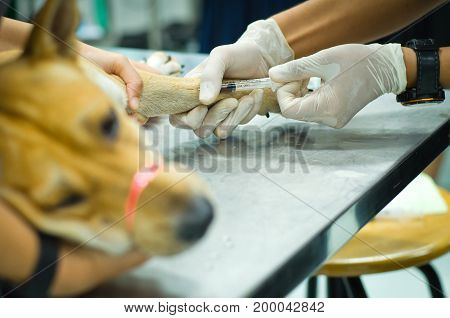 Hand's Veterinarian or student wear latex gloves using syringe an injection to leg brown dog foreground bured dog feeling sick and line on tied mouth
