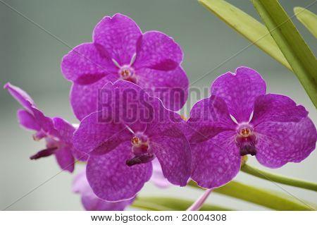 Multi-colored orchids