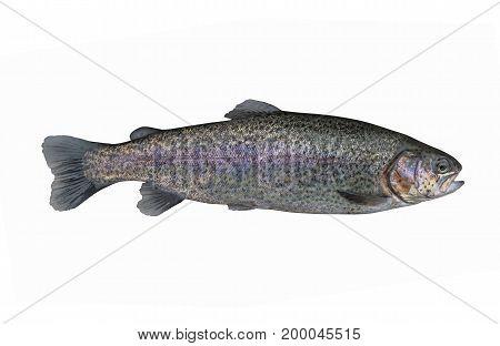 Trout Salmon Fish Isolated On White Background