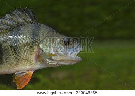 Perch Fish Isolated On Natural Green Background