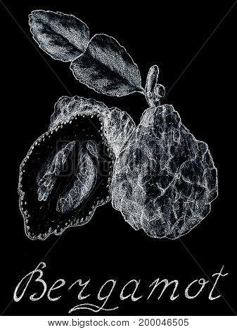 Bergamot Hand drawn sketch style. On a white background. Food organic raw. Citrus fruit. Tea Earl Grey. Essential oil perfumes aromatherapy