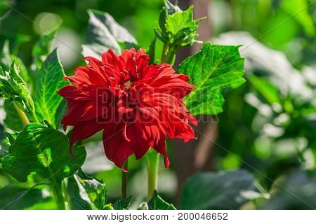 chrysanthemum variety credo, one bright scarlet flower surrounded by light green foliage, lit by the sun,  terry, summer period,