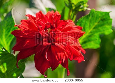 chrysanthemum variety credo, one bright scarlet flower surrounded by light green foliage, lit by the sun, terry, summer period, close-up
