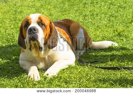 Saint bernard. Background of green blurry grass. Space under the text. 2018 year of the dog in the eastern calendar. Concept: parodist dogs, dog friend of man, true friends, rescuers.