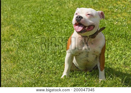 Pitbull is a short-haired breed of mastiff type dogs. Against the background of a green blurred grass. Space under the text. 2018 year of the dog in the eastern calendar. Concept: parodist dogs, dog friend of man, true friends, rescuers.