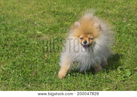 Spitz Laughing and smiling dog. Runs on the green grass, well lit by the sun. Space under the text. 2018 year of the dog in the eastern calendar Concept: parodist dogs, dog friend of man, true friends, rescuers.