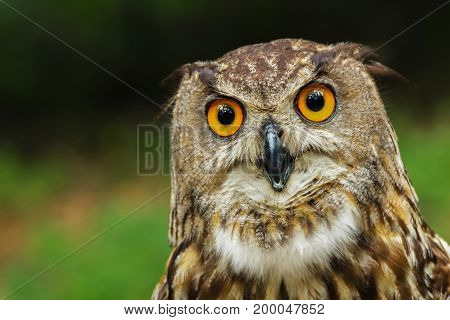 Curious European eagle-owl with big yellow eyes. European eagle-owl bubo bubo.