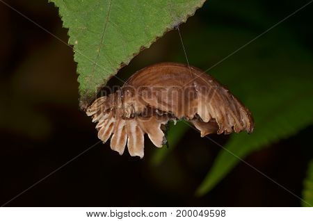 image of a common rose butterfly pupa