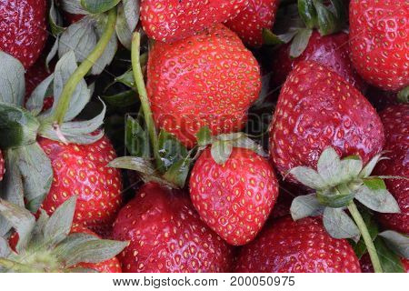 image of many raw red Strawberry at day