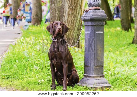 Dog Waiting For The Owner Tied To A Pole