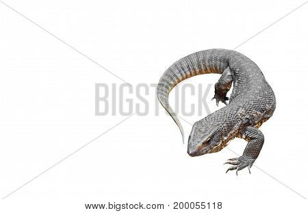 Closeup Savannah Monitor Isolated on White Background Clipping Path