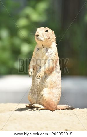 Adorable Short Armed Prairie Dog In Nature