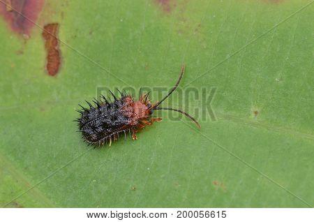 macro image of a Spiky leaf beetle (Dactylispa sp.)