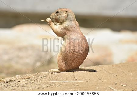 Scenic Black Tailed Prairie Dog Living In Nature