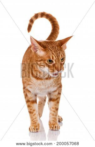 portrait of a ocicat cat on a white background. studio photo