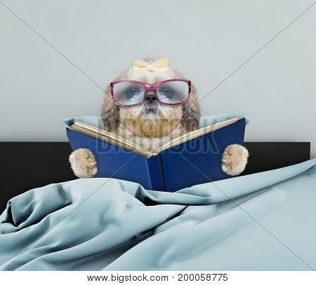 Cute shitzu dog reading an interesting book in bed