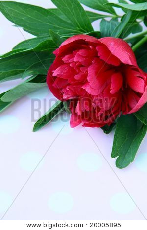 burgundy peony flower with green leaves
