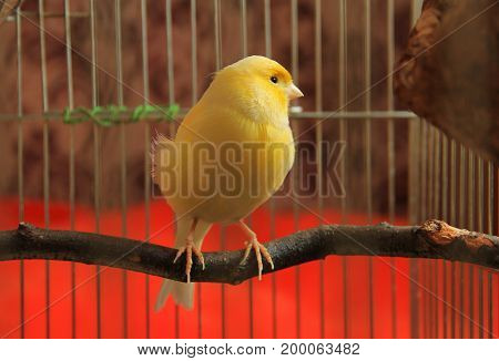 yellow canary sitting on  the twig in the cage