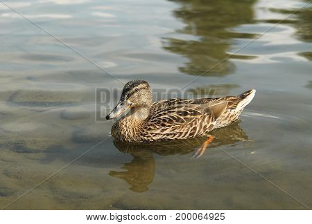mallard duck (Anas platyrhynchos) swimming in the water