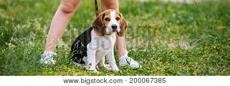 Cute little girl is playing with her dog in the green park. Puppy beagle for a walk