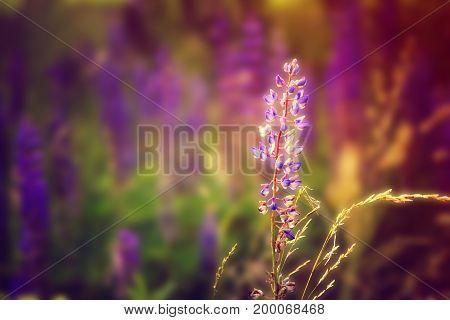 Blue salvia purple flowers. Beautiful Blur background.