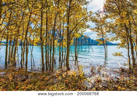 Magnificent turquoise Abraham Lake in a flood. The flooded coastal gold birchwoods. Journey to the Golden Autumn in Rocky Mountains. The concept of ecological and active tourism