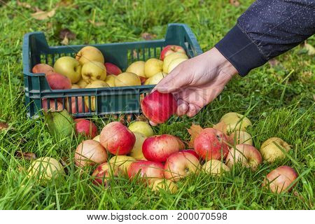 Man collect apples in grassin autumn day