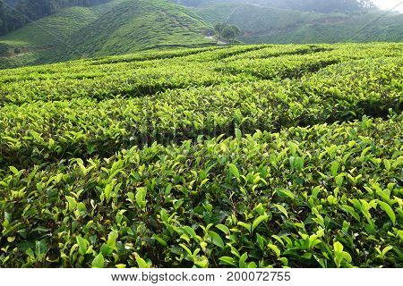 Tea Plantation Located In Cameron Highlands