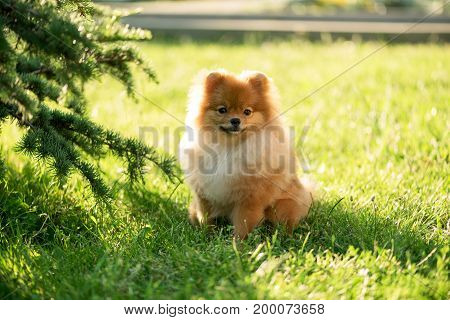 The puppy sits on a lawn under a tree in the rays of the setting sun. Pomeranian Spitz.