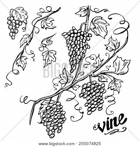vector design element, beautiful fancy curls leaves vines and swirls paragraph divider or underline illustration, black ink lines isolated on white background