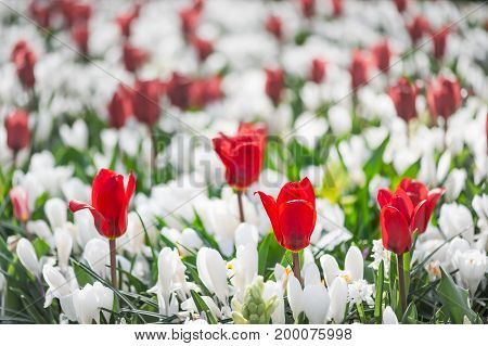 Red tulips among white flowers in a garden, Netherlands
