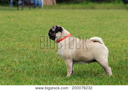 Dog breed Pug on the green grass