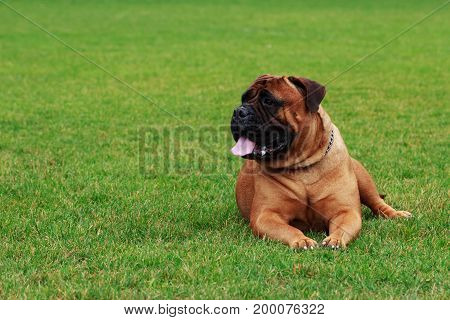 The dog breed Bullmastiff on a green grass