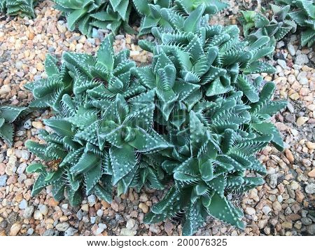 Tiger jaws Faucaria tigrina plant from south africa