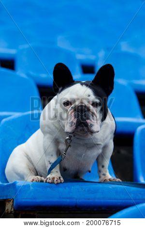 Dog breed French Bulldog sitting on a blue armchair