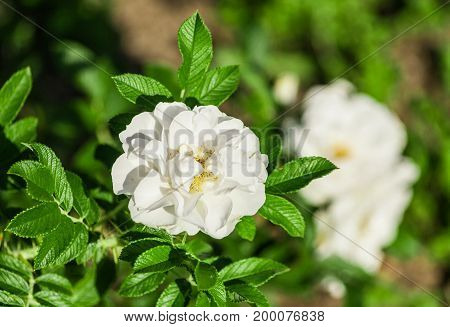 rose flower grade alise, flowers are pure white, one flower in bloom on background of green bright foliage, in the background a few white roses are blurry, sunny day, the flowers are lit by sunlight,