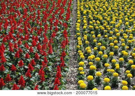 Flowerbed With  Scarlet Sage And Yellow Marigold