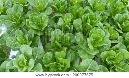 Chinese Kale vegetable in Hydroponics farm. This can used for background
