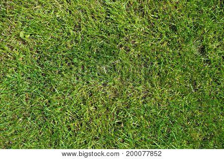 Short Green Lawn Grass Texture From Above