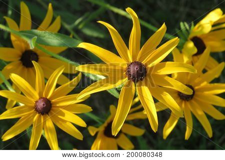 Black-eyed Susan, also known as Rudbeckia hart, is a flowering plant that is native to North America.