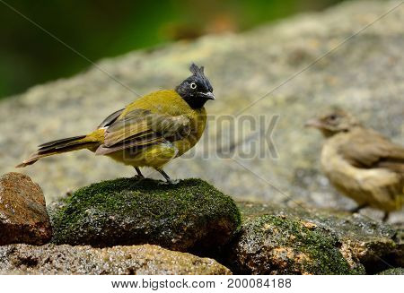 beautiful alone black-crested bulbul in Thai forest