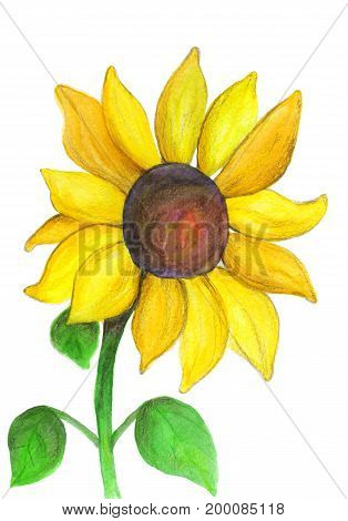 Sunflower painted with a watercolor and colored pencils