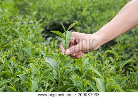 Green Tea Bud And Fresh Leaves.handle With Leaves Tea.tea Plantations. Chui Fong Farm Chiang Rai,tha