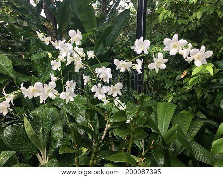 Dendrobium memoria princess diana hybrid orchid flower named after Lady Di
